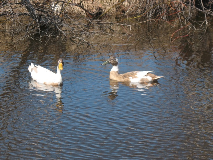ducks-in-spring-010